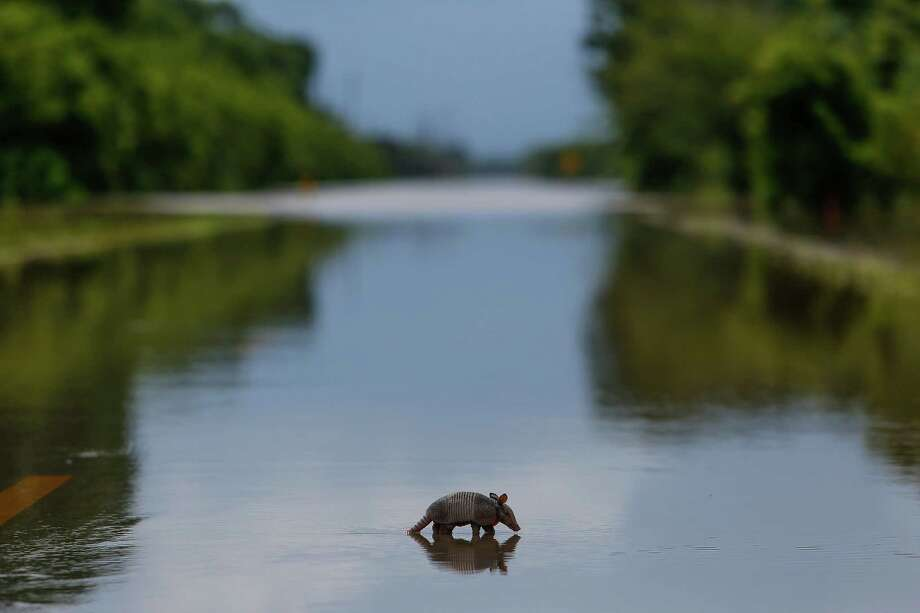 A baby armadillo crosses a flooded FM 2759 Wednesday, June 1, 2016 in Booth. ( Michael Ciaglo / Houston Chronicle ) Photo: Michael Ciaglo, Staff / © 2016  Houston Chronicle