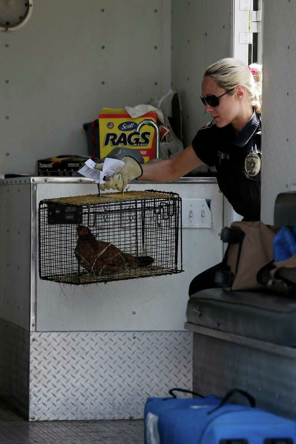 Animal Care Services officers confiscate 80 roosters and chickens from a house at the 100 block of Inez Avenue, Thursday, June 2, 2016. Many of the birds were malnourished and held in substandard conditions. According to ACS Field Operations Supervisor Audra Houghton, the owner voluntarily gave up the animals and could face misdemeanor animal cruelty charges after an investigation.