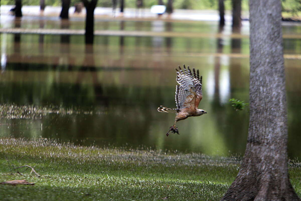 A bird clutches its prey as it flies through a flooded Stephen F. Austin State Park along the Brazos River west of Houston, Thursday, June 2, 2016.