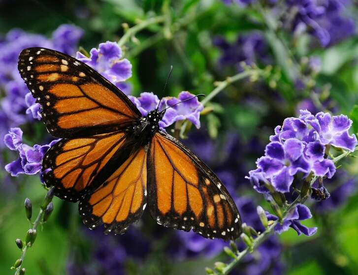 A monarch butterfly feeds on a duranta flower. Six states and the Federal Highway Administration signed an agreement on May 26, to make I-35 roadsides more conducive to bees and butterflies by integrating plants that provide refuge and food for the pollinators in hopes of helping them recover from declining populations.