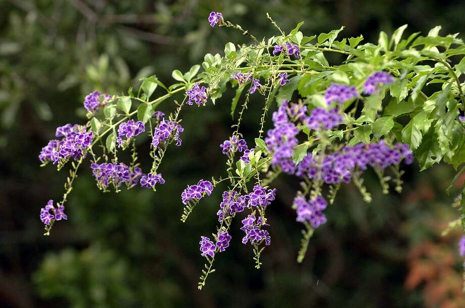 Blue duranta shows its colors in Pam Brown's garden in Fair Oaks Ranch on Tuesday, October 26, 2004. (Kin Man Hui/staff) Photo: KIN MAN HUI, STAFF / SAN ANTONIO EXPRESS-NEWS / SAN ANTONIO EXPRESS-NEWS