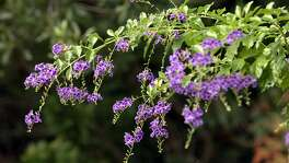 Blue duranta shows its colors in Pam Brown's garden in Fair Oaks Ranch on Tuesday, October 26, 2004. (Kin Man Hui/staff)
