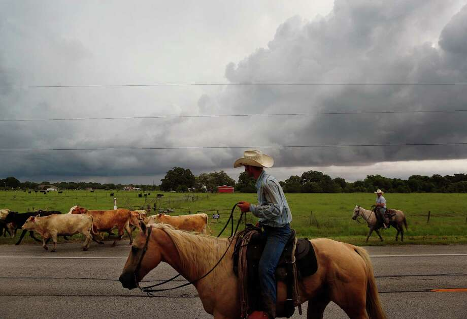 Cattle are driven west, away from the surging Brazos River, down FM 1462 in Brazoria County. Photo: Mark Mulligan, Associated Press / Houston Chronicle