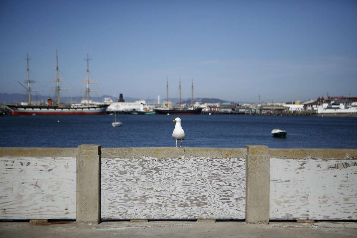 A bird sits on a area of the peir were damage is covered by wood on Thursday, June 2, 2016 in San Francisco, Cali.