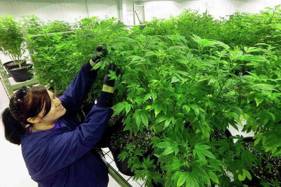 "Ashley Thompson inspects marijuana plants inside the ""Mother Room"" at the Ataraxia medical marijuana cultivation center. Ohio's General Assembly has passed House Bill 523, which legalizes medical marijuana. Texas has a similar law, but more restrictive.  Photo: Associated Press File Photo / Copyright 2016 The Associated Press. All rights reserved. This material may not be published, broadcast, rewritten or redistribu"