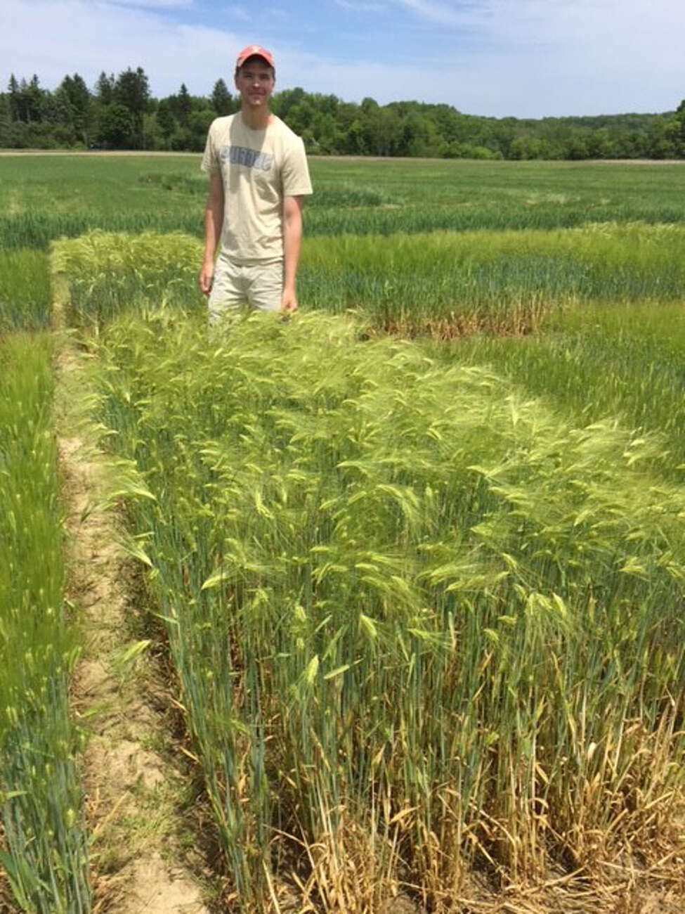 Daniel Sweeney, a graduate student at Cornell University, works in plots of experimental barley varieties that that could help fuel the state's craft brewing movement.