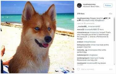 Meet Mya the 'Pomsky,' the Pomeranian-husky mix taking over