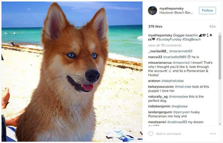 Pomeranian-Husky Mix... I must have this dog! : aww |Pomeranian Husky Mix Reddit