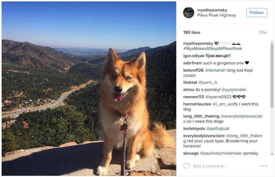 Pomsky puppy (Pomeranian + Husky) : aww |Pomeranian Husky Mix Reddit