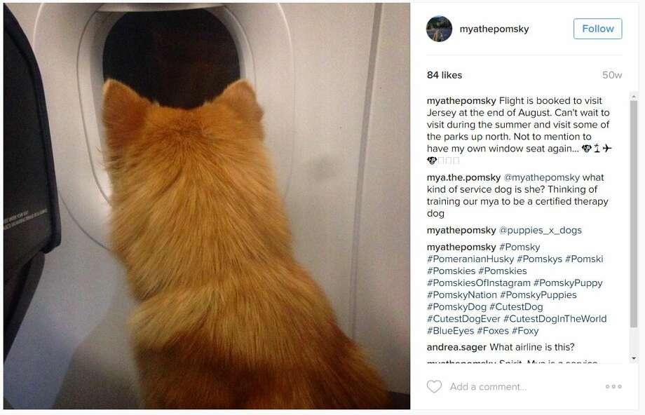 Meet Mya the 'Pomsky,' the Pomeranian-husky mix taking ... |Pomeranian Husky Mix Reddit