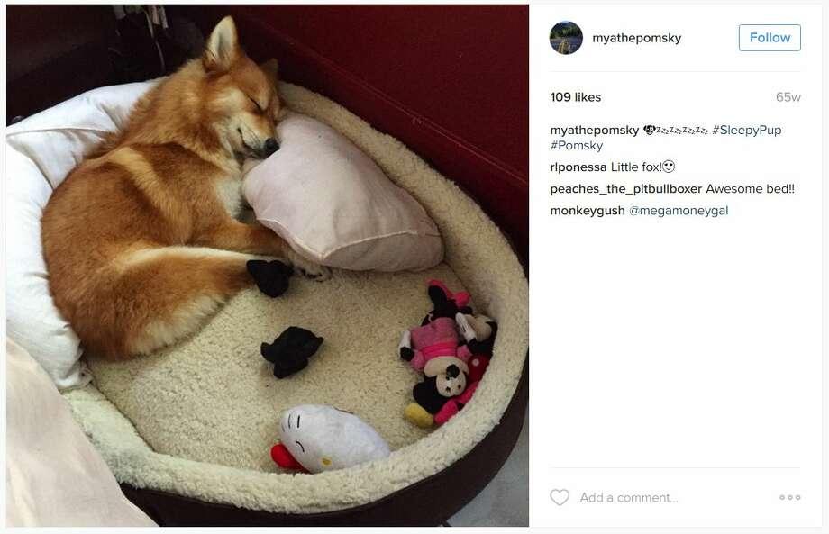 Meet Fox Dog, A Pomeranian-Husky Mix Who Is Taking The ... |Pomeranian Husky Mix Reddit