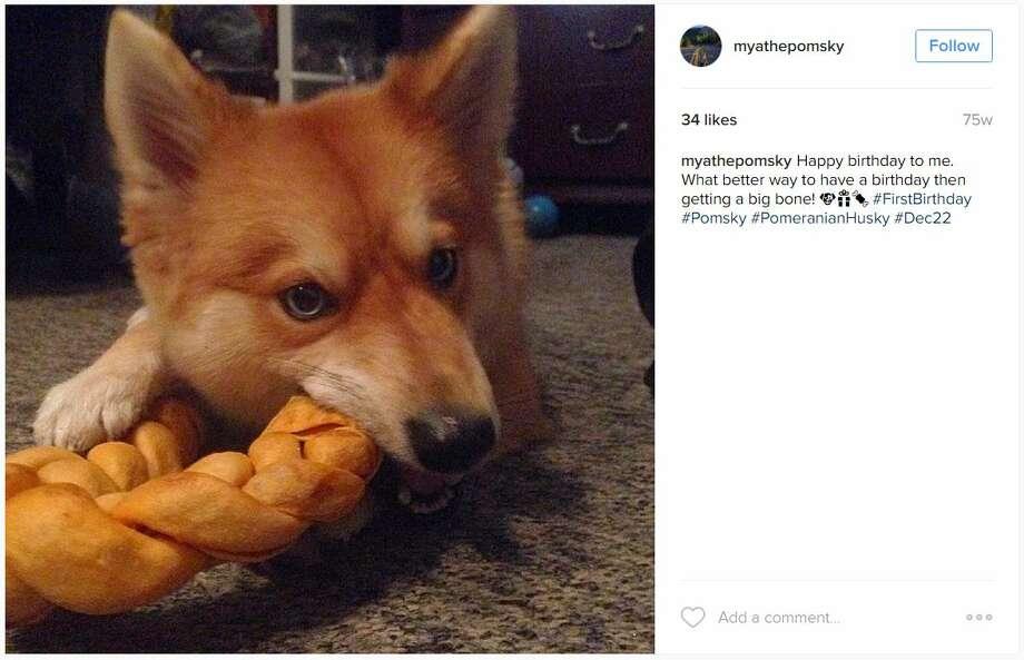This Pomeranian-Husky Mix Is The Pet Fox You Always Wanted |Pomeranian Husky Mix Reddit
