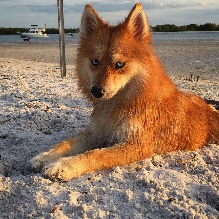 Husky Pomeranian mix : aww |Pomeranian Husky Mix Reddit