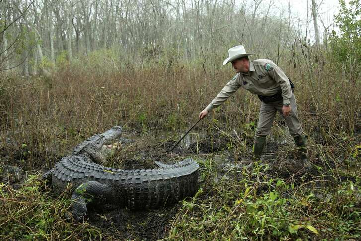 "A Texas game warden approaches a large alligator in a scene from ""Lone Star Law,"" an Animal Planet documentary series that chronicles the work of the state's game wardens."