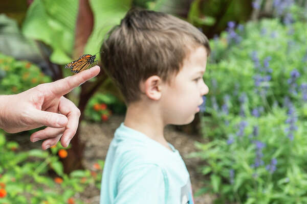 "San Antonio Botanical Garden family adult and education program specialist, Emma Trester-Wilson and Aaron Meyer, 5, walk on the garden grounds to release a Monarch butterfly during the new ""Winged Wonders"" exhibit Saturday, June 4, 2016."