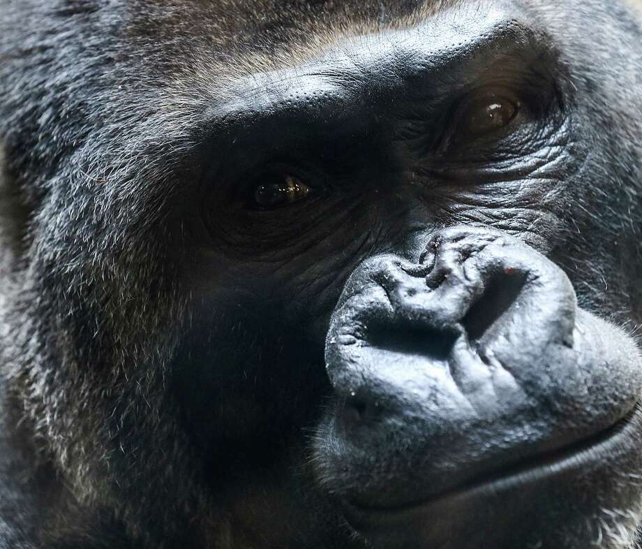 Mike, one of the bachelor silverbacks at the Houston Zoo, has heart problems that are monitored regularly. He is a loner who prefers to set his own schedule. Photo: Elizabeth Conley, Staff / © 2016 Houston Chronicle