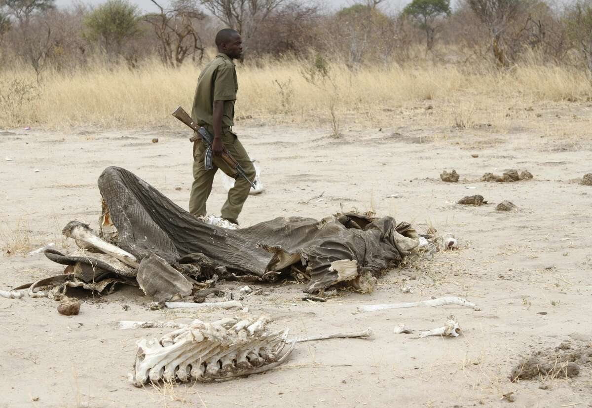 In this Sunday, Sept. 29, 2013 file photo, a game ranger walks by a rotting elephant carcass, in Hwange National Park, Zimbabwe. Zimbabwean officials say poachers killed five elephants by poisoning them with cyanide. Violet Makoto, spokeswoman for Zimbabwe's forestry commission, said Monday, May 30, 2016 that rangers discovered the carcasses of the elephants with their tusks removed in a western forest last week. No arrests have been made. (AP Photo)