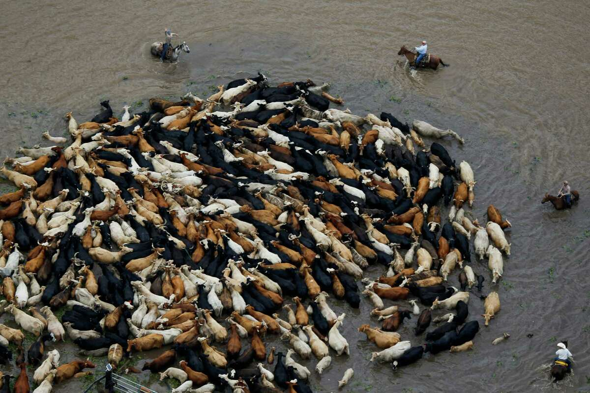 Cowboys work to rescue a herd of cattle from a flooded field as the Brazos River overflows its banks Saturday, June 4, 2016, near Chenango.