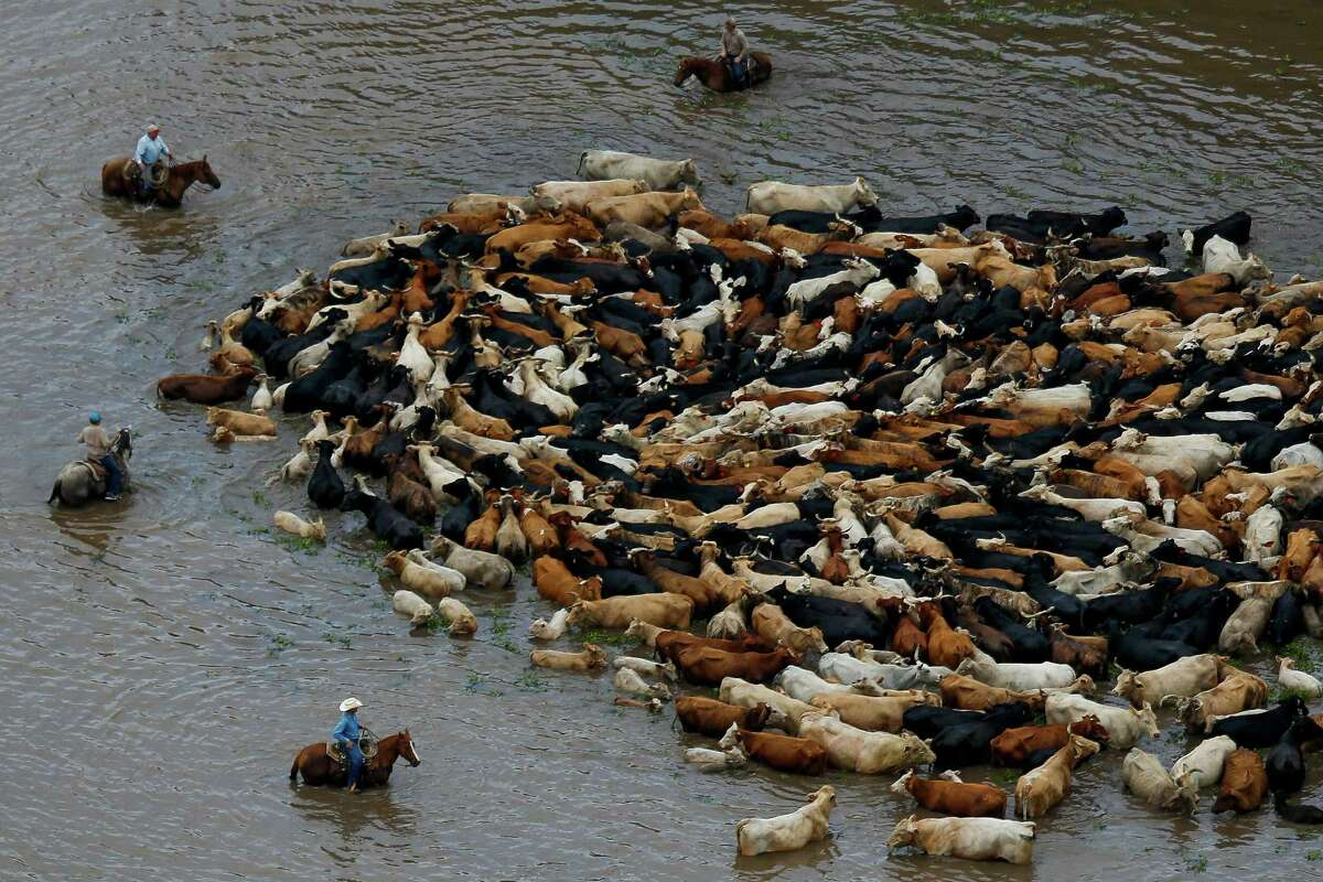 Cowboys work to rescue a herd of cattle from a flooded field as the Brazos River overflows its banks Saturday, June 4, 2016 near Chenango.