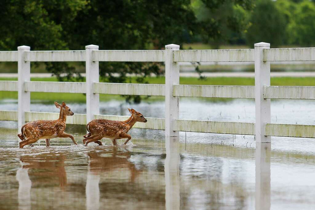 Two fawn deer walk through flood water off FM 1462 to try to escape the rising Brazos River Friday, June 3, 2016 in Rosharon. Photo: Michael Ciaglo, Houston Chronicle / © 2016  Houston Chronicle