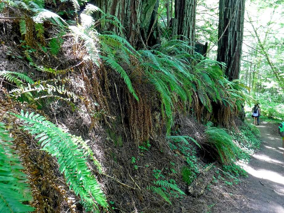 Sword ferns line the trail along Whittemore Gulch at Purisima Creek Redwoods Open Space Preserve on the Peninsula Photo: Tom Stienstra, Tom Stienstra / The Chronicle