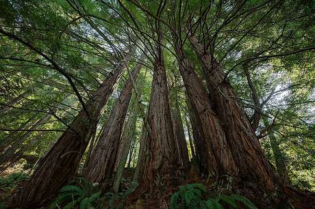 The deep canyons of Purisima Redwoods Open Space Preserve featured beautiful groves of second-growth redwoods.�                  Chronicle readers won a lottery to join outdoors writer Tom Stienstra on a hike last week at Purisima Creek Redwoods