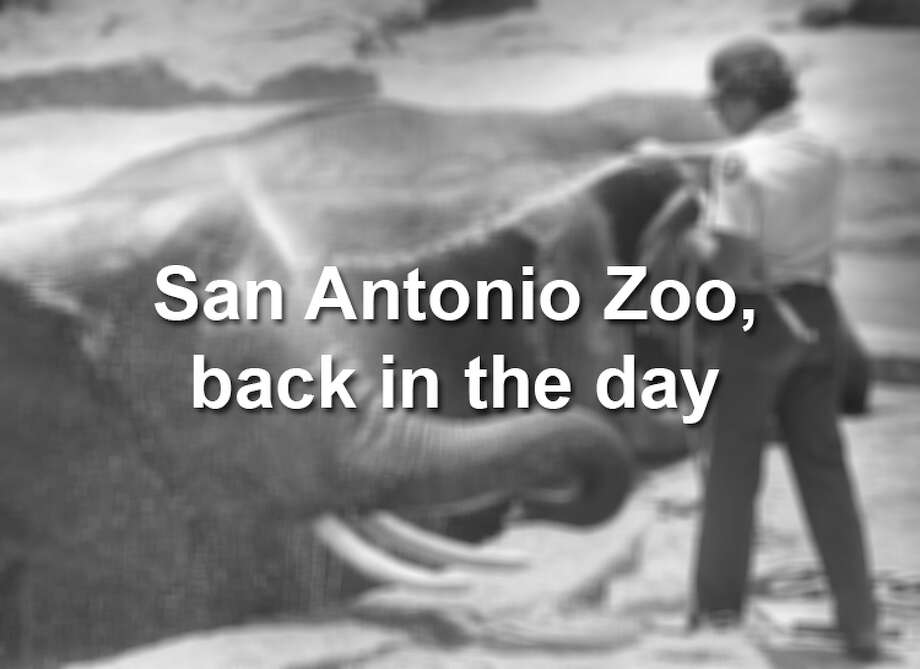 The San Antonio Zoo has been around for decades, meaning many silly animal moments have been caught on camera.Keep clicking to view photos of the San Antonio Zoo through the years. Photo: Craig Stafford/San Antonio Express-News File Photo