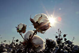 In this file photo, the sun sets on a cotton field south of Lubbock, Texas. U.S. Department of Agriculture Secretary Tom Vilsack on Monday announced a $300 million program to help struggling U.S. cotton farmers by paying 40 percent of ginning costs. . (AP Photo/LM Otero, File)