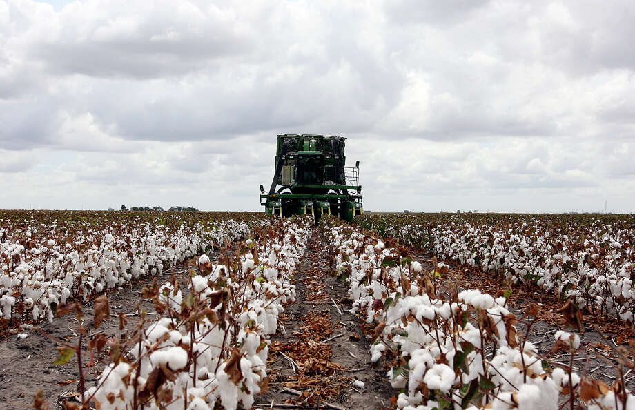 Cotton's price would have to rise to 75 cents from about 65 for farmers to break even, analysts say. Photo: EDWARD A. ORNELAS, Eaornelas@express-news.net / © SAN ANTONIO EXPRESS-NEWS (NFS)