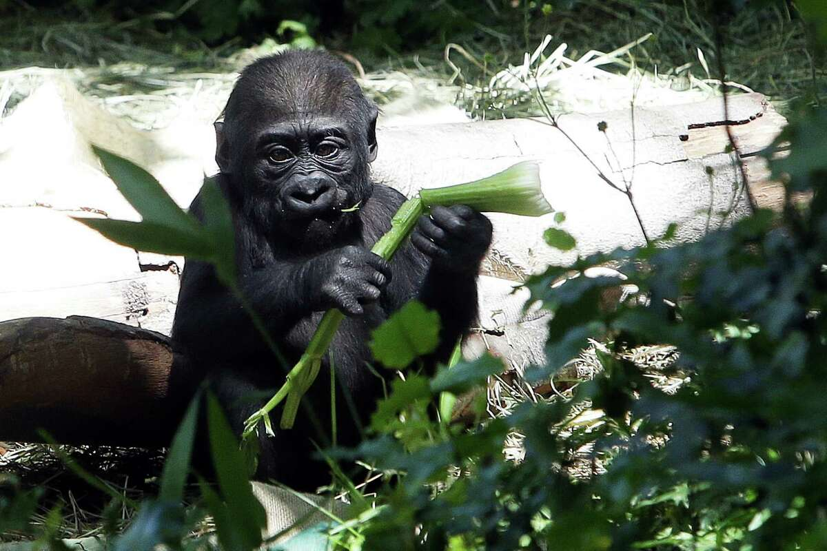 Six-month-old baby western lowland gorilla Yola eats a snack in her habitat at the Woodland Park Zoo Monday, June 6, 2016. Yola will make her public debut Tuesday starting at 1:00pm.
