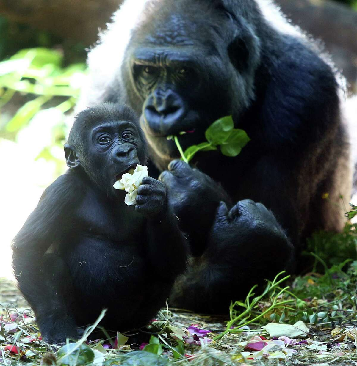 Six-month-old baby western lowland gorilla Yola eats a snack in her habitat at the Woodland Park Zoo with her mother, 20-year-old Nadiri, Monday, June 6, 2016. Yola will make her public debut Tuesday starting at 1:00pm.