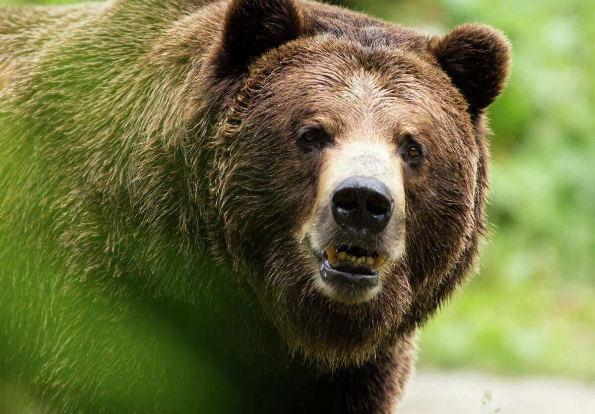 A grizzly bear at the Woodland Park zoo looks at the salmon that are about to be thrown into the bears' exhibit.