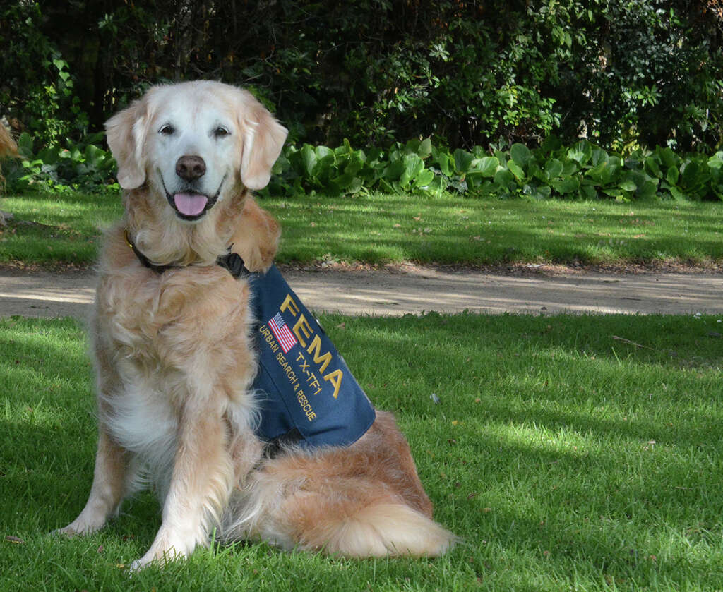 Bretagne, a 16-year-old golden retriever, was the last surviving search-and-rescue-dog from 9/11. She was euthanized at the Fairfield Animal Hospital, Monday, June 6, 2016 in Cypress, Texas. Photo: File/Cypress-Fairbanks Volunteer Fire Department
