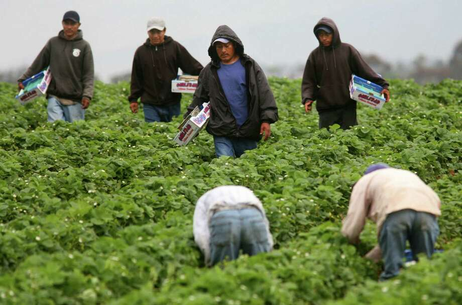 The rise of Trump as the likely Republican nominee is exacerbating a labor shortage among migrant farm workers, leaving many California crops to rot. It's also squelched any push toward reviving guest-worker proposals and put farmworker advocates on the defensive. Photo: Sandy Huffaker /Getty Images / Getty Images North America
