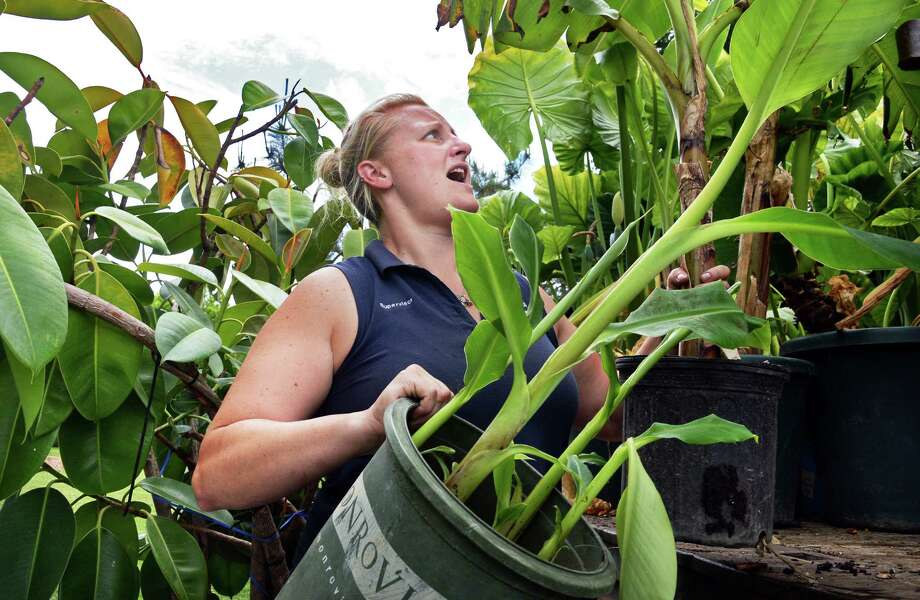 City gardener Jessica Morgan unloads tropical plants from their greenhouse for planting in Washington Park Tuesday June 7, 2016 in Albany, NY.  (John Carl D'Annibale / Times Union) Photo: John Carl D'Annibale / 40036873A
