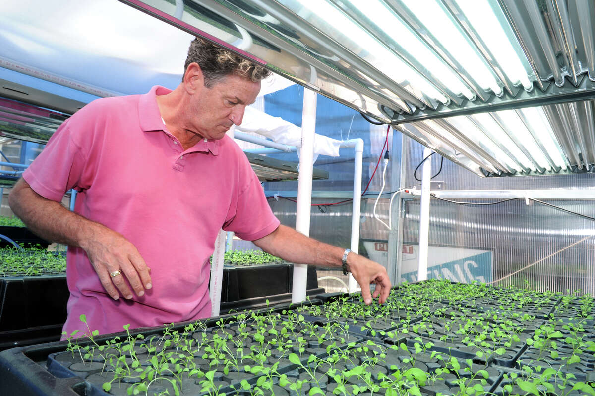 Billy Sade tends to young arugula seedling under cultivation in a greenhouse at Pivot Development Corporation, in Bridgeport, Conn. June 6, 2016. Green Collar and Pivot CDC plan to open a large scale growing facility in Bridgeport next year.