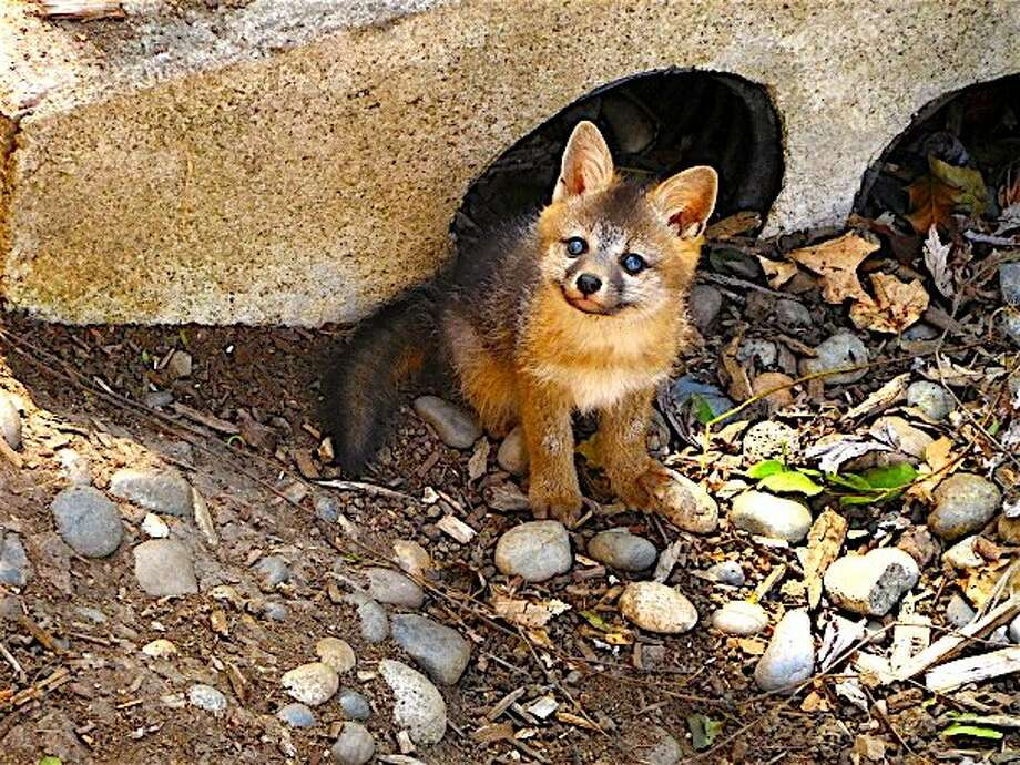 A newborn gray fox makes its first sighting of a human in Walnut Creek. Photo: Tom Stienstra / Brian Murphy / Special To The Chronicle