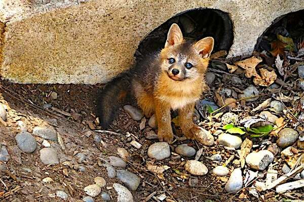 A newborn gray fox makes its first sighting of a human. Wildlife of all kinds are now hatching this year's crops.