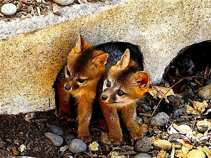 Double trouble: A pair of juvenile gray fox poke their heads out of their den, a culvert in a dry creek in Tice Valley area of Walnut Creek.