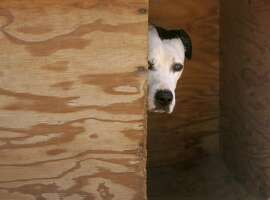 In this Feb. 23, 2008 file photo, one of Michael Vick's fighting dogs hides in its shelter at Best Friends animal sanctuary, north of Kanab, Utah. Vick is scheduled to plead guilty to state dogfighting and animal cruelty charges Tuesday Nov. 25, 2008 in a deal that calls for a suspended sentence and probation. (AP Photo/Douglas C. Pizac, File)