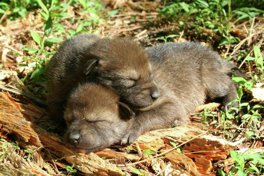 Red wolf pups sleep. Conservationists submitted a petition last month requesting that the U.S. Fish and Wildlife Service increase protection for the wolves. Photo: RYAN NORDSVEN/U.S. FISH AND WILDLIFE SERVICE, HO / RYAN NORDSVEN/U.S. FISH AND WILDLIFE SERVICE