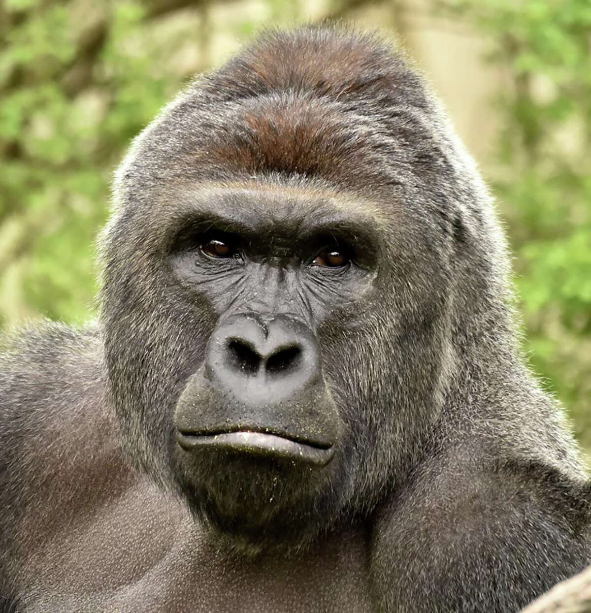 (FILES) This undated file photo courtesy of the Cincinnati Zoo, obtained on May 30, 2016, shows gorilla Harambe. The parents of a toddler who fell into a gorilla enclosure at an Ohio zoo in the US state of Ohio last month will not face charges, a prosecutor said June 6, 2016. The family faced an outburst of criticism after keepers were forced to shoot the rare 400-pound (180 kilogram) animal to rescue the three-year-old boy during the incident at the Cincinnati Zoo. / AFP PHOTO / CINCINNATI ZOO & BOTANICAL GARDEN / HandoutHANDOUT/AFP/Getty Images