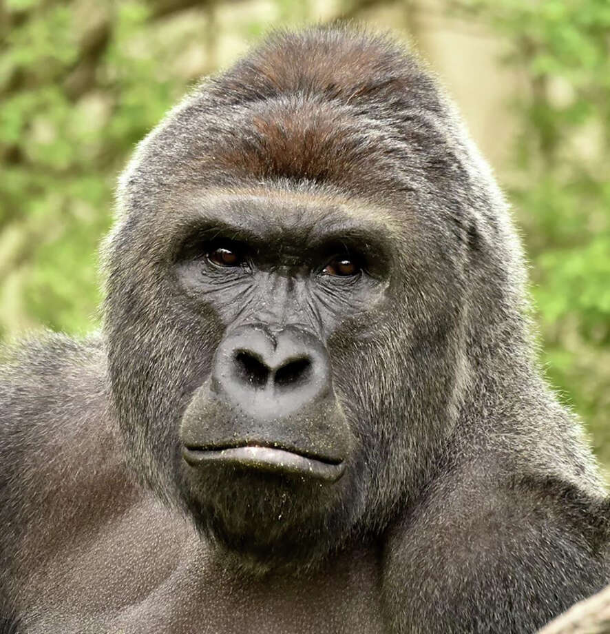 Harambe the gorilla continues to make his way into the news, whether through a hacked road sign or memes on the internet.Click through the slideshow to see how people reacted to Harambe's death. Photo: HANDOUT, Stringer / AFP or licensors