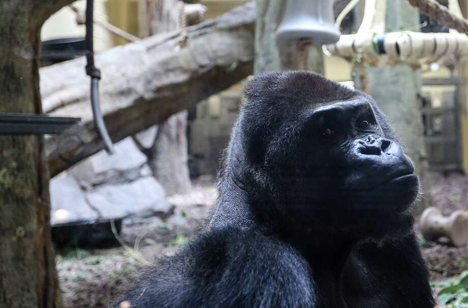 Mike, one of the silverbacks at the Houston Zoo, sits in the indoor exhibit on  June 2, 2016.  ( Elizabeth Conley / Houston Chronicle ) Photo: Elizabeth Conley, Staff / © 2016 Houston Chronicle