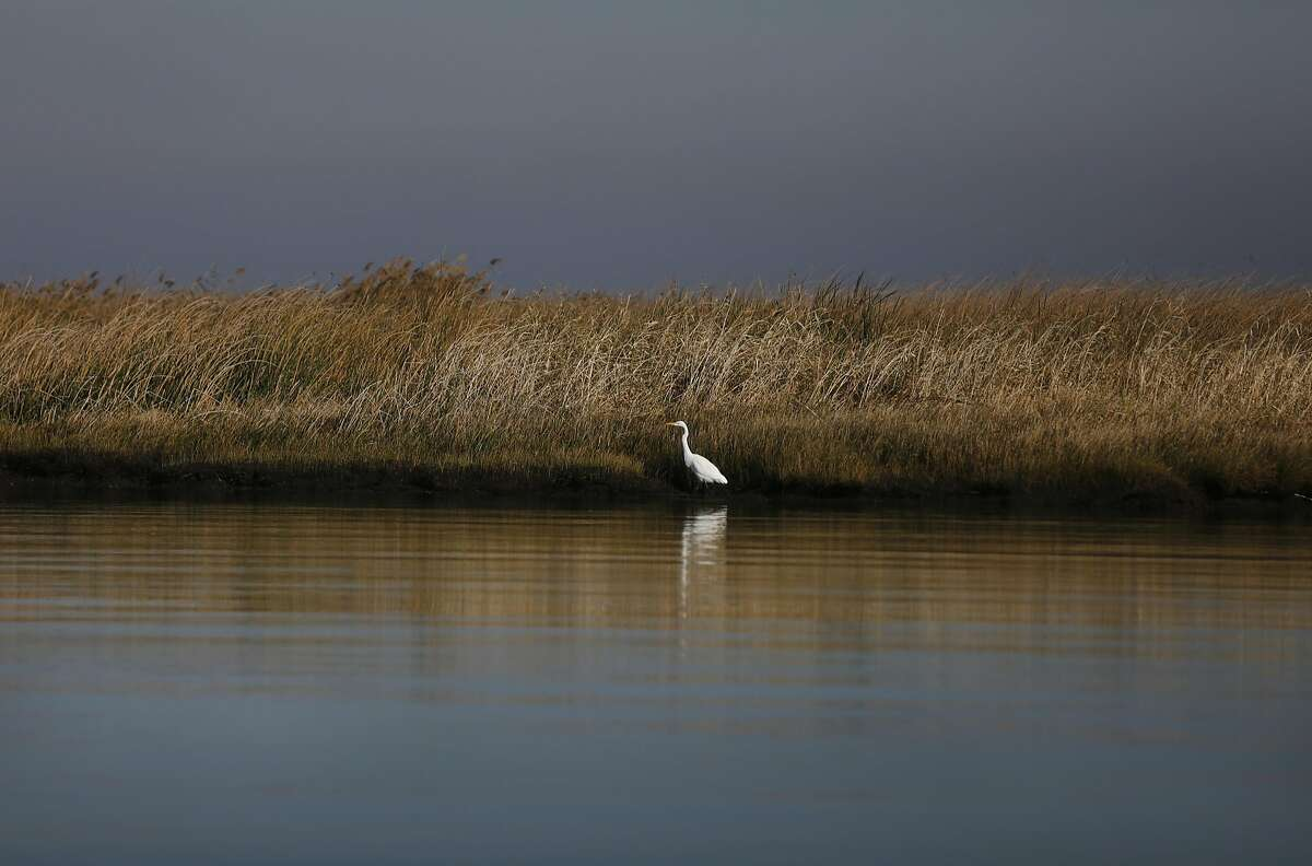 A Great Egret can be seen wading offshore of Chipps Island during a tour for the Chronicle of Chipps Island led by the co-owners of Chipps John Sweeney and Curt Setzer Nov. 13, 2015 near Pittsburg, Calif. Chipps, which is part of the Suisun Marsh is used for habitat for wintering and migrating waterfowl and for duck hunting.