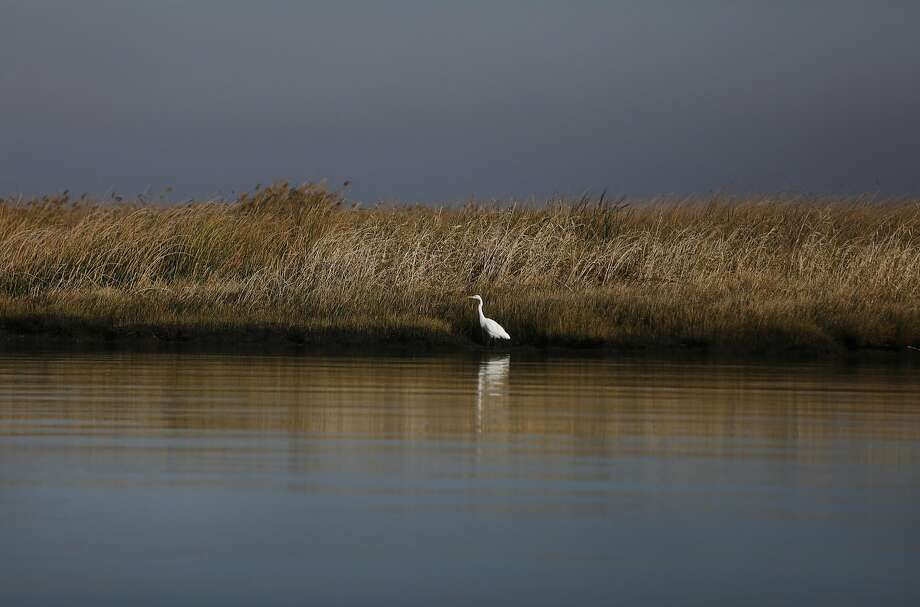 A great egret wades near Chipps Island in the Suisun Marsh near Pittsburg. Measure AA is intended to restore marshes and take other steps to protect the San Francisco Bay habitat. Photo: Leah Millis, The Chronicle