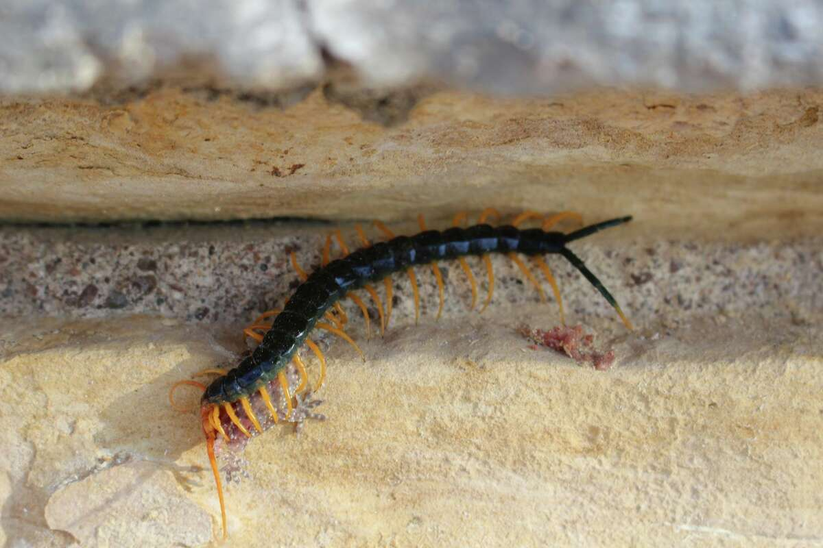 Texas Parks and Wildlife'sBalmorhea State Park staff shared a photo on Facebook of the Red Headed Centipede, common to Texas, eating a Gecko.