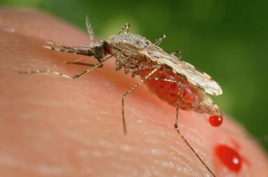 "In this photo provided by the Centers for Disease Control and Prevention (CDC ), a feeding female Anopheles stephensi mosquito crouching forward and downward on her forelegs on a human skin surface, in the process of obtaining its blood meal through its sharp, needle-like labrum, which it had inserted into its human host. A powerful new technology holds the promise of rapidly altering genes to make malaria-proof mosquitoes, eliminate their Zika-carrying cousins or wipe out an invasive species, but advisers to the government say these so-called ""gene drives"" aren't ready to let loose in the wild just yet.  (James Gathany/CDC via AP) Photo: James Gathany, HOGP / Centers for Disease Control and Prevention"