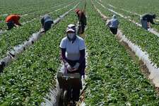 Migrant workers harvest strawberries near Oxnard, Calif., in 2013. The rise of Donald Trump has put farmworker advocates on the defensive, says an official for an immigration reform group.