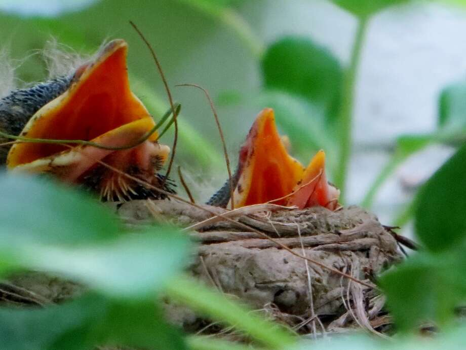 """Lois Dorman and husband, Jan, were excited to find this nest with these little guys nestled in the hydrangea branches of their trellis.  """"There's been a lot of activity with the momma robin coming and going in the quiet of the early morning and early evening. It's a pleasure to watch  the ebb and flow  of nature at it's best,"""" Lois Dorman said. (Jan Dorman)"""